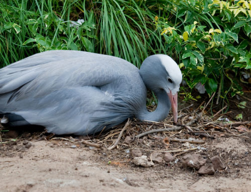 Lessons from my muse – a mother Blue Crane